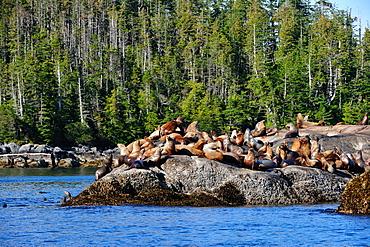 Sea lions in Great Bear Rainforest, British Columbia, Canada, North America