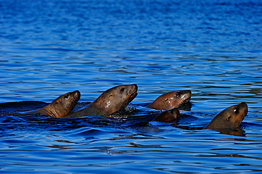 Sea lions moving together in sea, Great Bear Rainforest, British Columbia, Canada, North America