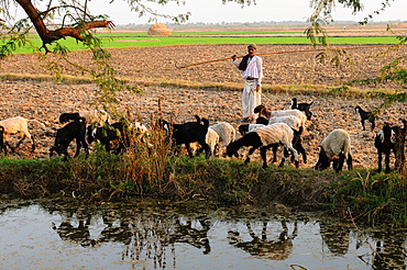 A shepherd herds his sheep along the cultivated land, Gujarat, India, Asia
