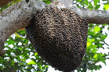 Rock bee hive (swarm), Karnataka, India, Asia  - 1125-94