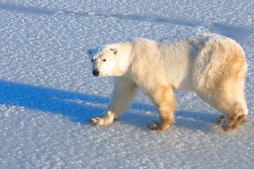 Polar bear on fresh snow, Wapusk National Park, Manitoba, Canada, North America