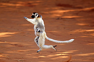 Verreaux's Sifakas, female with young, Berenty Reserve, Madagascar / (Propithecus verreauxi)