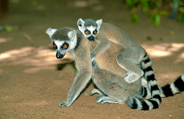 Ring-tailed Lemurs, female with young, Berenty, Madagascar / (Lemur catta)