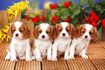 Cavalier King Charles Spaniel, puppies, blenheim, 6 weeks