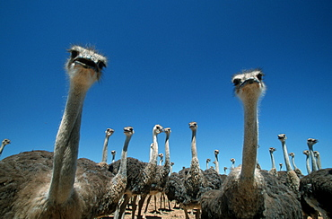 Young South African Ostrichs, South_Africa / (Struthio camelus australis)