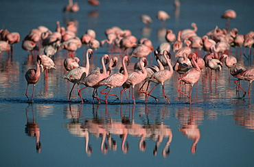 Lesser Flamingos at lake Nakuru, Nakuru national park, Kenya / (Phoenicopterus minor, Phoeniconaias minor)
