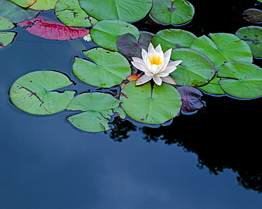 White Water-lilies / (Nymphaea alba)
