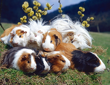 Severals breeds of Guinea Pigs