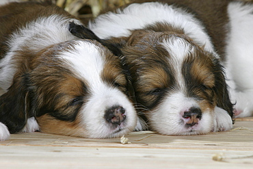 Small Dutch Waterfowl Dogs, puppies, 5 weeks / Kooikerhondje