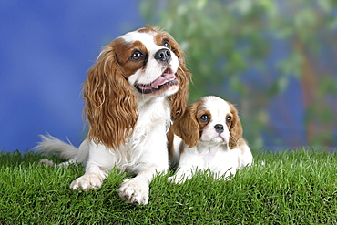 Cavalier King Charles Spaniel with puppy, 8 weeks, Blenheim