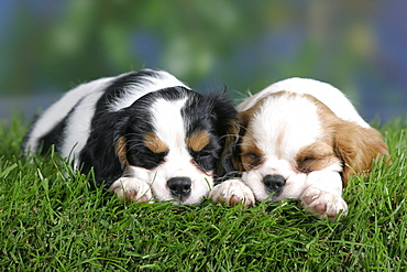 Cavalier King Charles Spaniel puppies, 8 weeks, tricolor and Blenheim