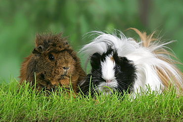Abyssinian and Peruvian Guinea Pig