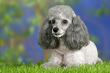 Toy Poodle, silver