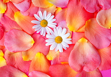 Rose petals and Daisy blossoms / (Rosa spec.), (Chrysanthemum spec.)