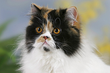 Persian Cat, tortie-white-Harlequin