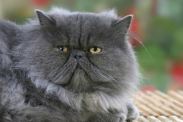 Persian Cat, blue