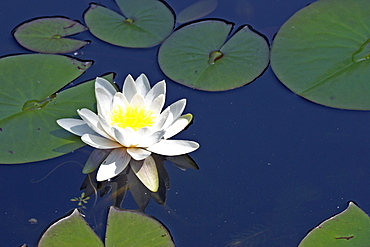 White Water Lily, Germany / (Nymphaea alba)