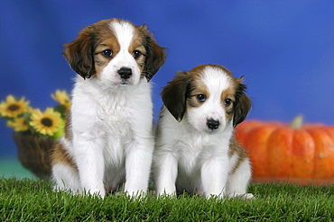 Small Dutch Waterfowl Dog, puppies, 7 weeks / Kooikerhondje