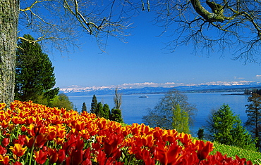 Bed of Tulips, Isle of Mainau, view on Lake Constance, Baden-Wurttemberg, Germany