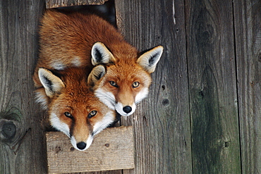 Red Foxes looking out of barn door / (Vulpes vulpes)