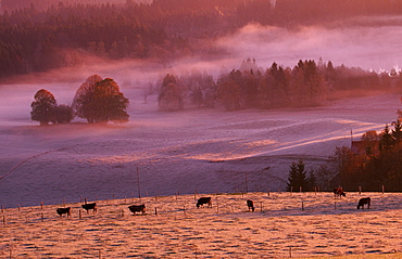 Cattle on meadow in morning haze, Allgau, Bavaria, Germany