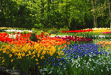 Bed of flowers with Tulips, Daffodils and Hyacinths, Keukenhof Garden, Lisse, Netherlands
