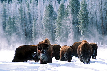 American Bisons, herd in winter, Yellowstone national park, Wyoming, USA / (Bison bison)