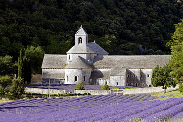 Lavender field in front of abbey Senanque, Provence, Southern France / (Lavendula angustifolia)