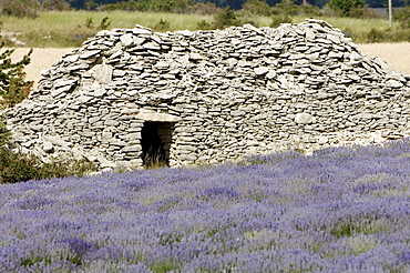 Lavender field and stone hut, Provence, Southern France / (Lavendula angustifolia)