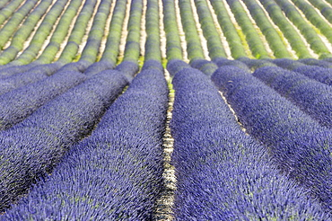 Lavender field, Provence, Southern France / (Lavendula angustifolia)