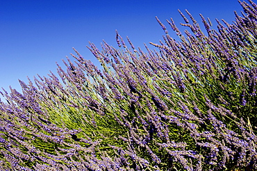 Blooming Lavender, Provence, Southern France / (Lavendula angustifolia)