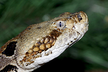 Timber Rattlesnake / (Crotalus horridus)