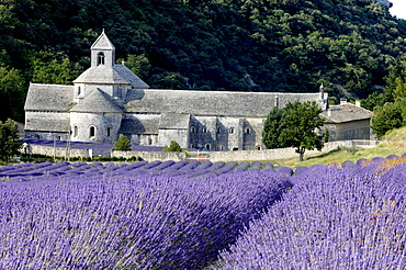 Lavender field in front of abbey Senanque, Gordes, Provence, Southern France / (Lavendula angustifolia)