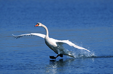Mute Swan, starting, North Rhine-Westphalia, Germany / (Cygnus olor)