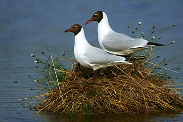 Black-headed Gulls, pair at nest, Lower Saxony, Germany / (Larus ridibundus)