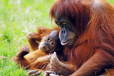 Sumatran-Orang utan, female with young / (Pongo pygmaeus abelii)
