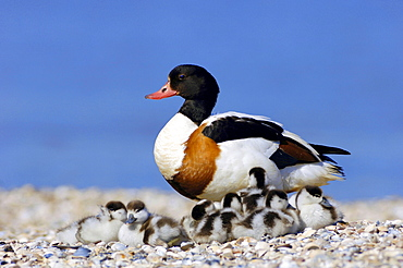 Shelduck, female with goslings, Texel, Netherlands / (Tadorna tadorna)