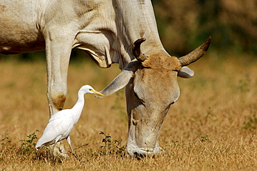 Zebu Cattle and Cattle Egret, Rajasthan, India / (Bubulcus ibis) / heron