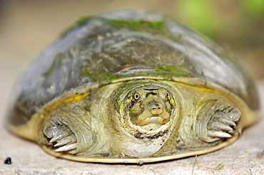 Young Indian Flapshell Turtle, Keoladeo Ghana national park, Rajasthan, India / (Lissemys punctata) / Indian Mud Turtle