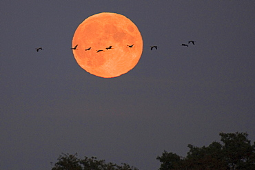 Common Cranes in front of full moon, Lower Saxony, Germany / (Grus grus)