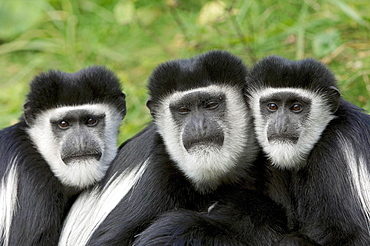 Black-and-white Colobus Monkeys / (Colobus guereza) / Colobus Monkey, Guereza