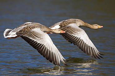 Greylag Geese, pair, Lower Saxony, Germany / (Anser anser)