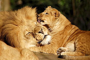 African Lion, male and cub / (Panthera leo)