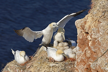 Northern Gannets and chicks, Heligoland, Schleswig-Holstein, Germany / (Morus bassanus, Sula bassana)
