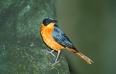White-browed Robin / (Cossypha heuglini) / side