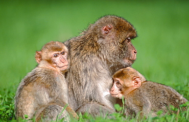 Barbary Monkey, female with youngs / (Macaca silvanus)