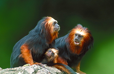Golden-headed Tamarins / (Leontopithecus rosalia chrysomelas)