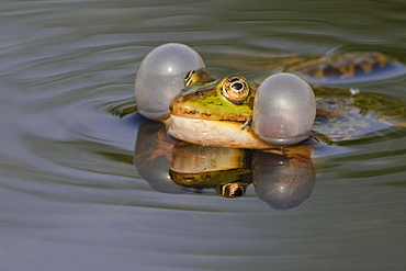 Edible Frog, Germany / (Rana esculenta) / croaking