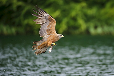 Black Kite with seized fish, Mecklenburg-Western Pomerania, Germany / (Milvus migrans)
