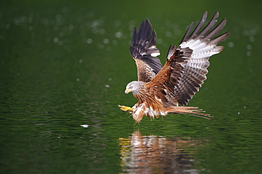 Red Kite, fishing, Mecklenburg-Western Pomerania, Germany / (Milvus milvus)